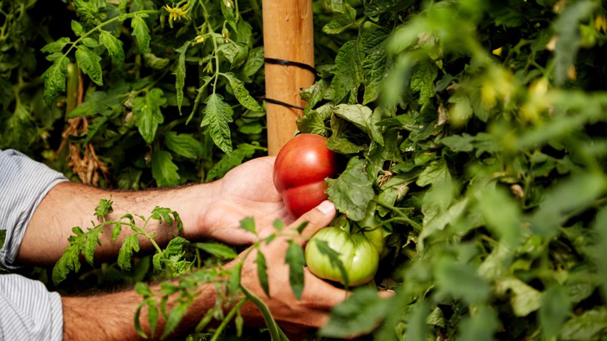 Amy's tomato farm