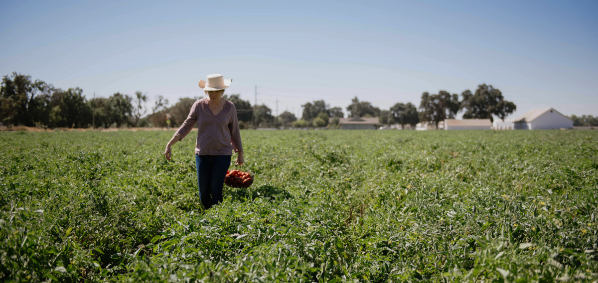 Woman harvesting tomatoes